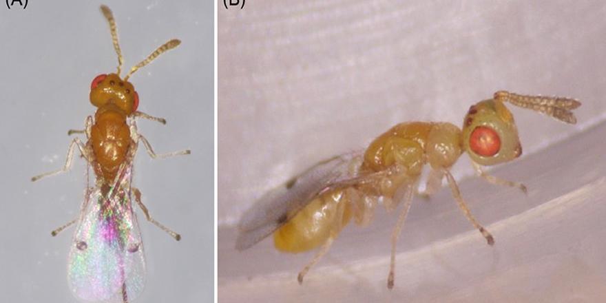 Uşak'ta yeni bir böcek türü keşfedildi!