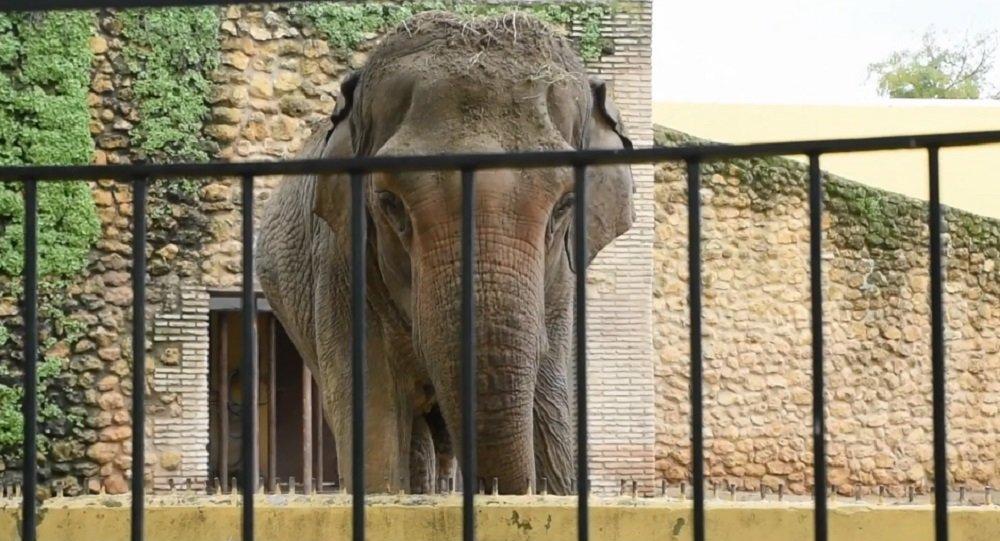 'Dünyanın en üzgün fili', 43 yıl hapsedildiği kafeste öldü