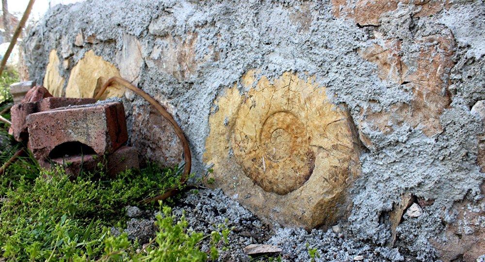 65 milyon yıllık dev salyangoz fosili duvardan söküldü