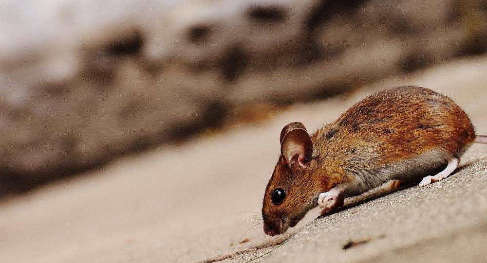 Avustralya polisi evsiz adamın kayıp faresini bulmak için seferber oldu