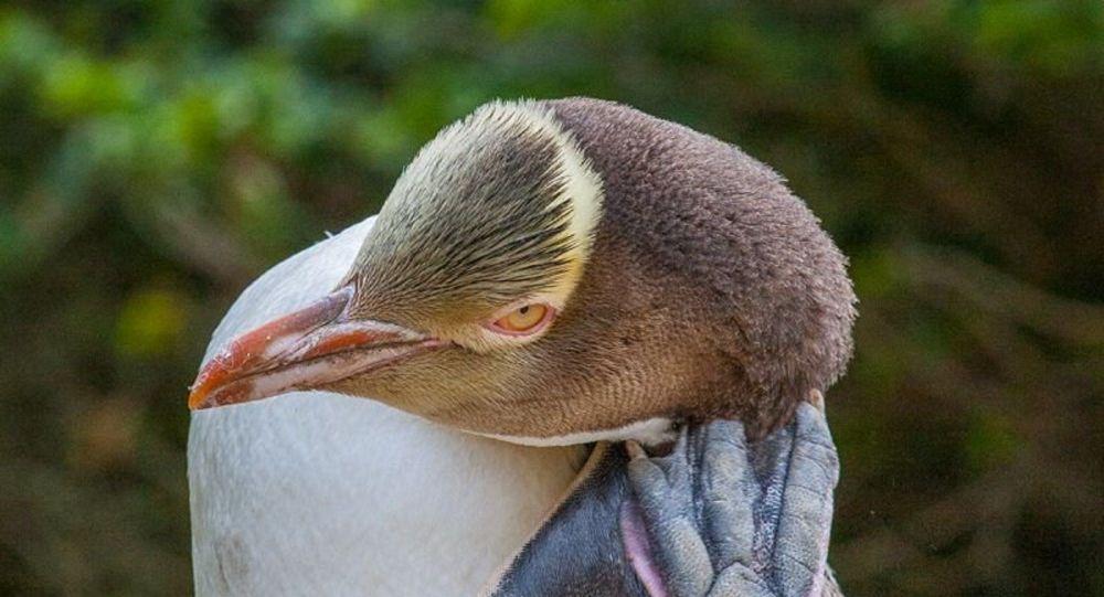 Anti-sosyal penguen hoiho 'Yılın Kuşu' yarışmasında ipi gögüsledi