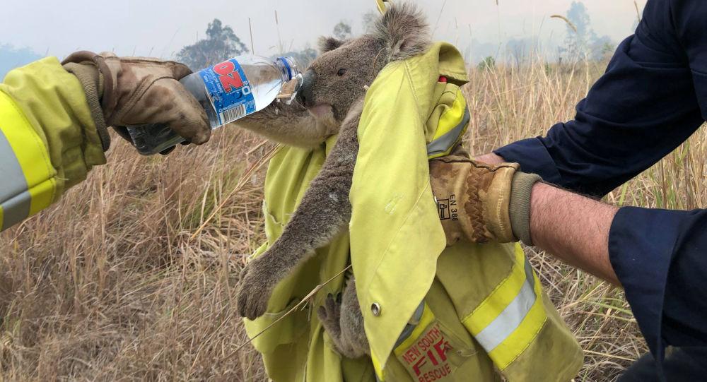 Avustralya: 'Yangın o kadar yıkıcı ki ölen binlerce koalayı hiç bulamayabiliriz'