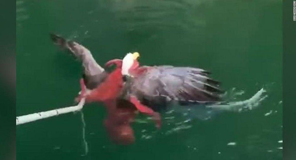 Ahtapot, kartalı yakalayıp suyun altına çekmeye çalışırken görüntülendi