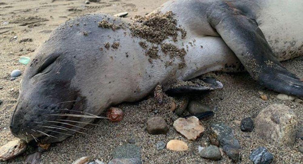 Alanya sahilinde ölü halde Akdeniz foku bulundu