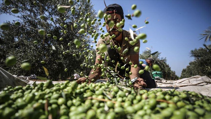 Sofralık zeytinin yüzde 60'ı Avrupa ülkelerine gönderildi